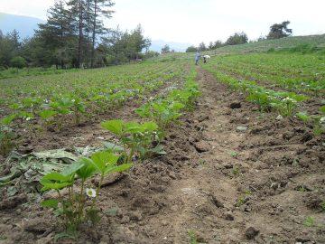 Bulgaria-Strawberry-Field